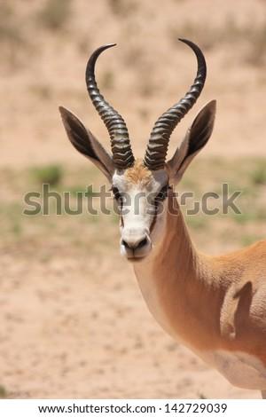 springbok wild animals african mammal savannah plains and deserts africa kalahari desert kgalagadi national park south africa botswana nature parks and nature reserves - stock photo