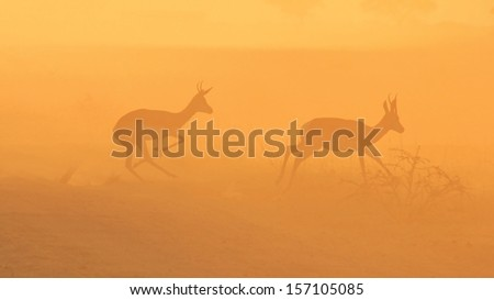 Springbok - Wildlife and Sunset Background from Africa - Wonders of the Wild and Beauty from the Animal Kingdom through Nature