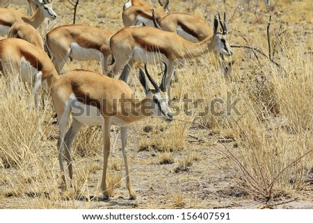Springbok - Wildlife Background from Africa - Animal Kingdom beauties with horns