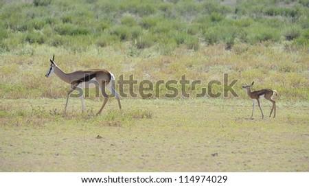 Springbuck (Antidorcus marsupialis). A young lamb follows a herd member - stock photo