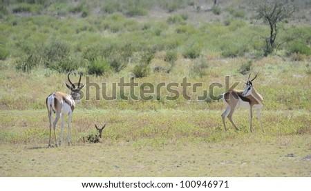 Springbuck birth sequence in the kalahari, Urikaruus,Kgalagadi transfrontier park, South Africa, Mother,ram and newborn lamb - stock photo
