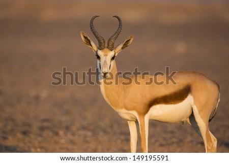 Springbuck male in sunset light, Sossusvlei, Namib Desert, Namibia - stock photo