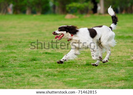 Springer dog running on the lawn - stock photo