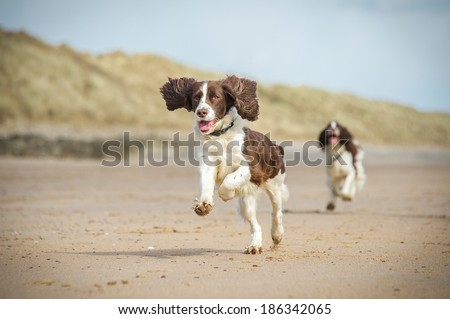 Springer Spaniel  - stock photo