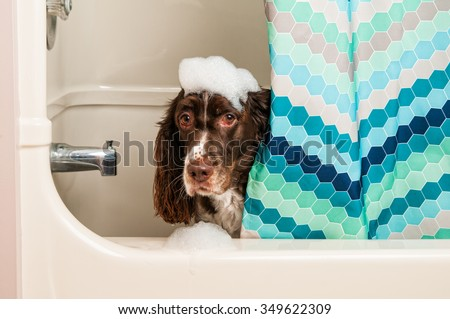 springer spaniel dog being washed in the bath tub with bubbles
