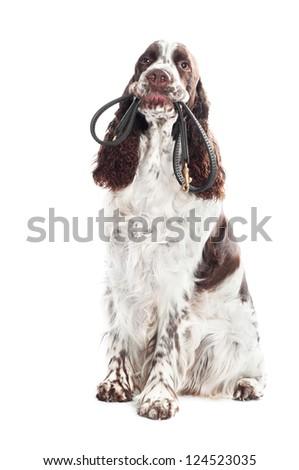 springer spaniel dog holding a leash - stock photo