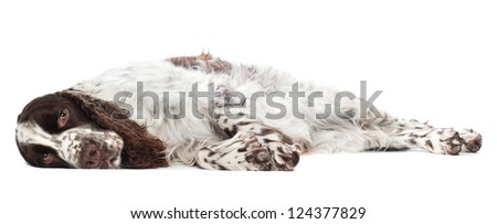 springer spaniel dog lying down sad - stock photo
