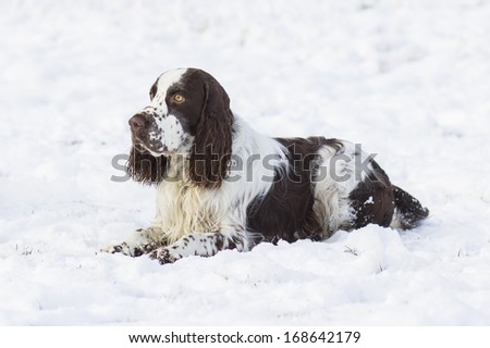 springer spaniel dog lying on the snow - stock photo