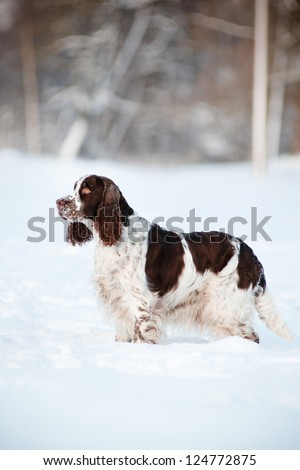 springer spaniel dog outdoors - stock photo