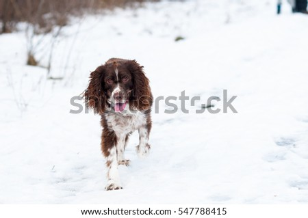 springer spaniel dog running outdoors on a snowy path in winter