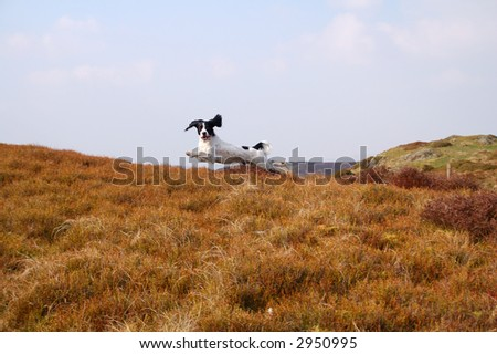 Springer spaniel leaping through the air in full flight in the countryside - stock photo
