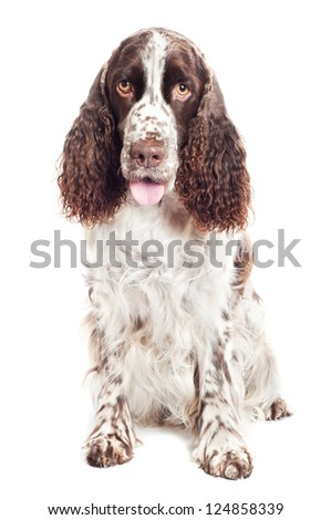 springer spaniel portrait - stock photo