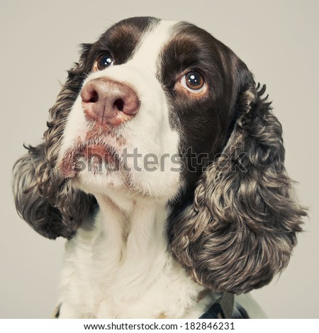 Springer Spaniel Portrait with facial expression. - stock photo