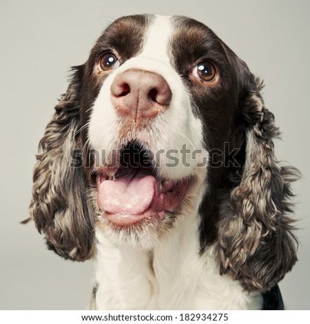 Springer Spaniel Portrait with happy facial expression. - stock photo