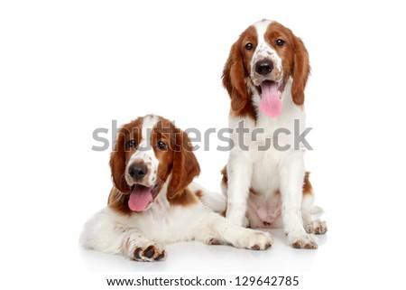 Springer spaniel puppies on a white background - stock photo