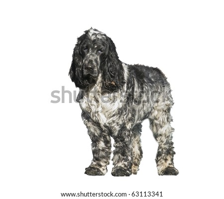 Springer Spaniel puppy isolated, posing for the camera in a park - stock photo