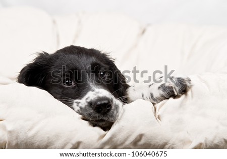 springer spaniel puppy resting on a white blanket - stock photo