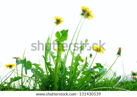 Springflowers isolated on white background with grass and soil - stock photo