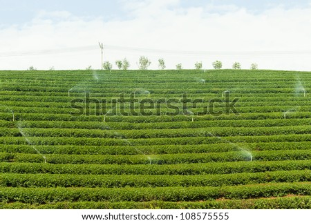 SPRINGIER IN TEA GARDEN - stock photo