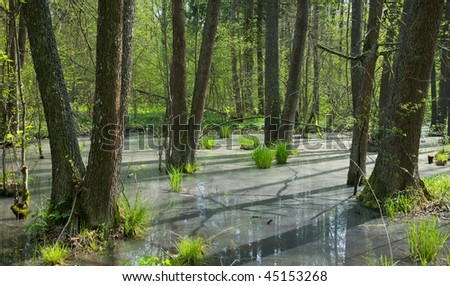 Springtime alder bog forest with standing water in sunny day - stock photo