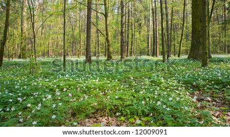 Springtime anemone floral bed at deciduous forest, european temperate forest, bialowieza - stock photo