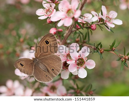 Springtime Australian Dingy Ring or Dusky Knight Ypthima arctous butterfly ID on native wildflower leptospernum pink cascade flowers in spring - stock photo