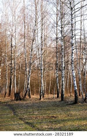 Springtime birches - stock photo