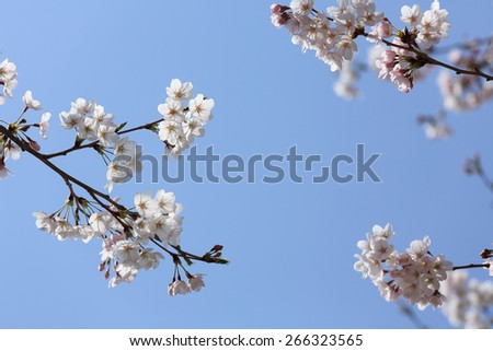 springtime blooming branch of cherry blossom on the blue sky  - stock photo