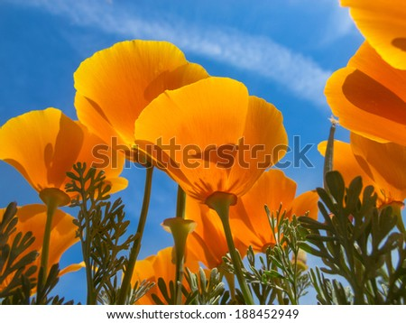 Springtime blooms of California Golden Poppies. - stock photo