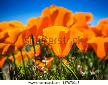 Springtime blooms of California Golden Poppies.   A single poppy is in focus in the center of the image with a deep blue sky background