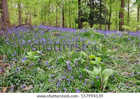 Springtime Bluebells in the woodlands of Britain.