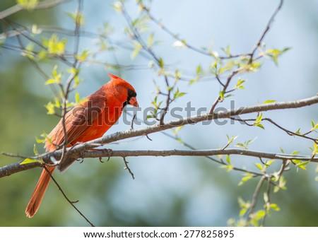 Springtime cardinal - stock photo