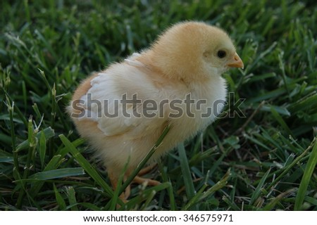 Springtime chick in green grass.