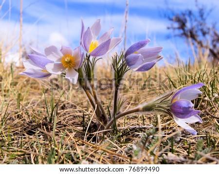 Springtime crocus flowers emerging from the prairie - stock photo