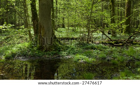 Springtime deciduous stand of Bialowieza Forest Landscape Reserve with two old trees in foreground - stock photo