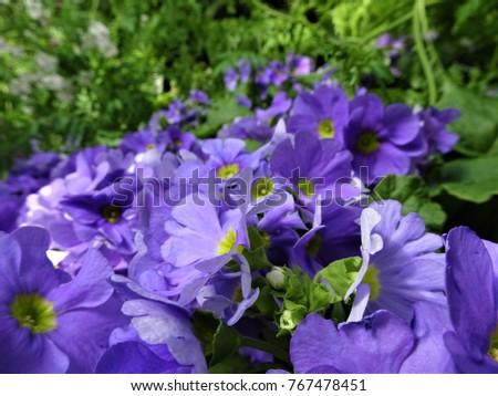 Springtime flowers blue purple flower yellow centre stock photo springtime flowers bluepurple flower with yellow centre mightylinksfo