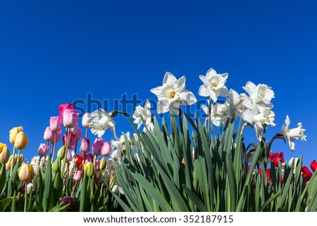 Springtime flowers of daffodils and tulips create a bright display against a clear blue sky background.