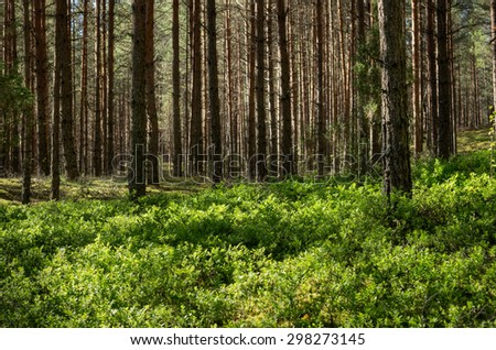 springtime forest with blueberry carpet - stock photo