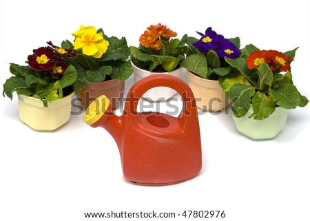 Springtime. Gardening tools, colorful primula and soil on a white