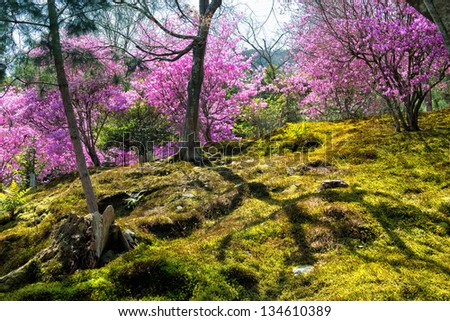 Springtime in Japan - Japanese moss garden with cherry blossoms in Arashiyama, Kyoto