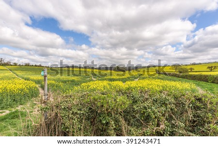 Springtime in the fields of yellow rapeseed , with a wonderful bright blue sky with dramatic fluffy white clouds.