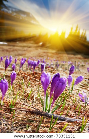 Springtime is the moment for this beautiful flower - stock photo