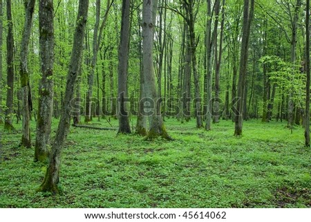 Springtime linden stand with fresh leaves and floral bed - stock photo