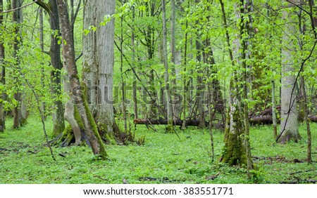 Springtime linden stand with fresh leaves and floral bed of Bialowieza Forest,Bialowieza Forest,Poland,Europe