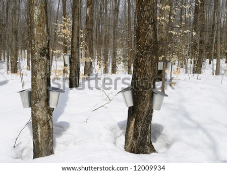 Springtime, maple syrup season. Buckets on trees for collecting maple sap. - stock photo