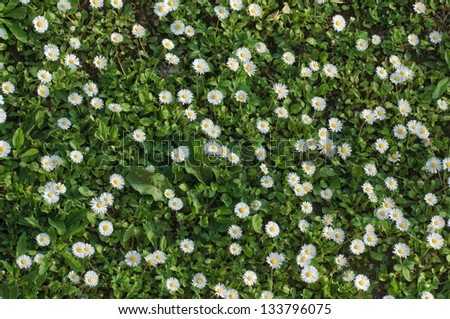 Springtime meadow full of daisies