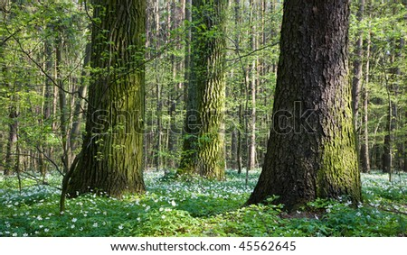 Springtime mixed stand with old trees and anemone flowers floral bed under - stock photo