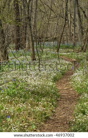 Springtime Path Through Bull Run Regional Park, Fairfax, VA During the Virginia Blue Bell Bloom Vertical - stock photo