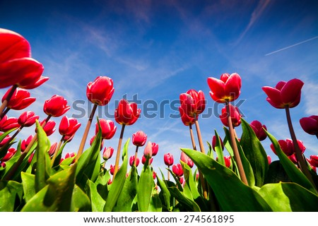 Springtime pink tulips blossom on the Netherlands farm. Beautiful flowers on the blue sky background at the sunny morning.