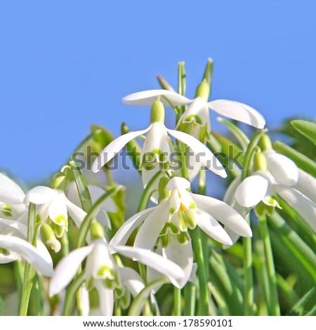 springtime snowdrops - stock photo